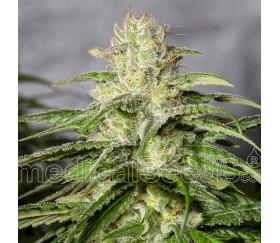OG Kush CBD - Medica Seeds