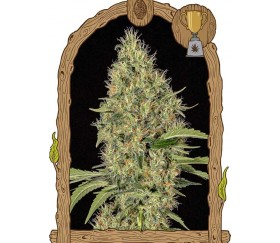 Gipsy Widow - Exotic Seeds