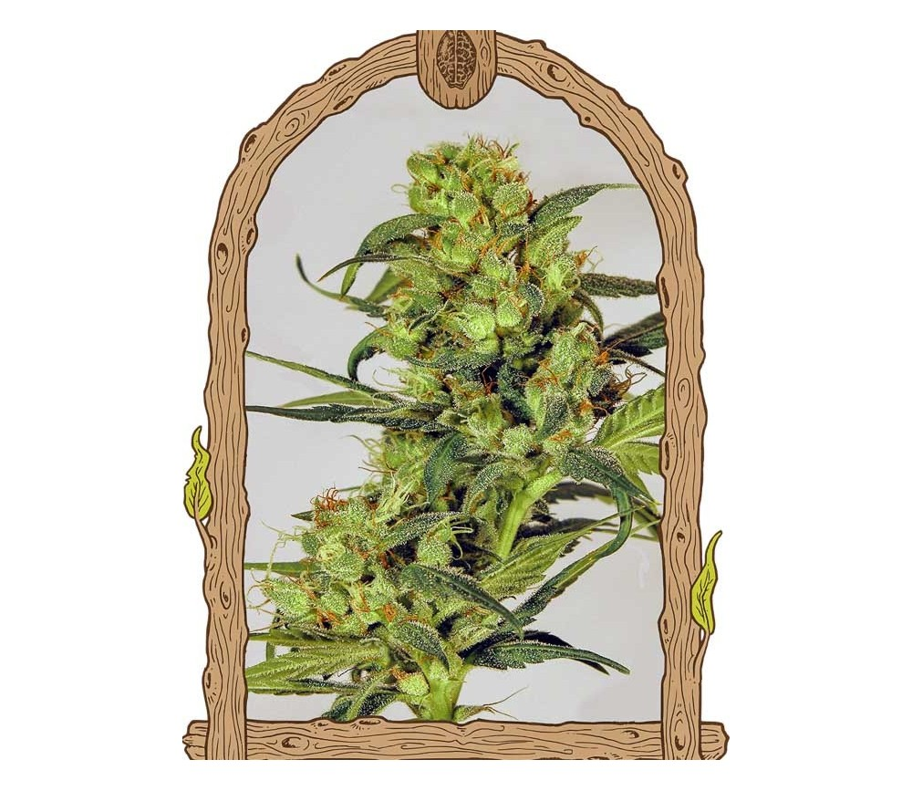 Spicy Bitch Regular - Exotic Seeds