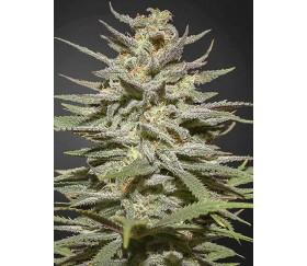 Super Lemon Haze CBD - Green House Seeds