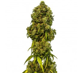 Swiss Dream Auto CBD - Kannabia Seeds Company
