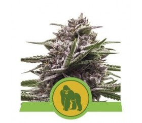 Royal Gorilla Automatic - Royal Queen Seeds
