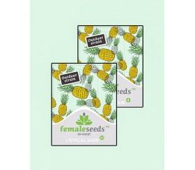 Critical Sour - Female Seeds