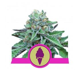Green Gelato - Royal Queen Seeds