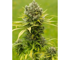 Dinamed CBD Plus - Dinafem Seeds