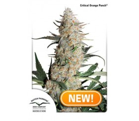 Critical Orange Punch - Dutch Passion Seeds