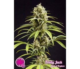 Fruity Jack Jack el Frutero - Philosopher Seeds