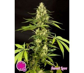 Sweet Love - Philosopher Seeds