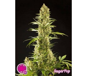 Sugar Pop - Philosopher Seeds