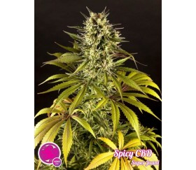 Spicy CBD Superjuani - Philosopher Seeds