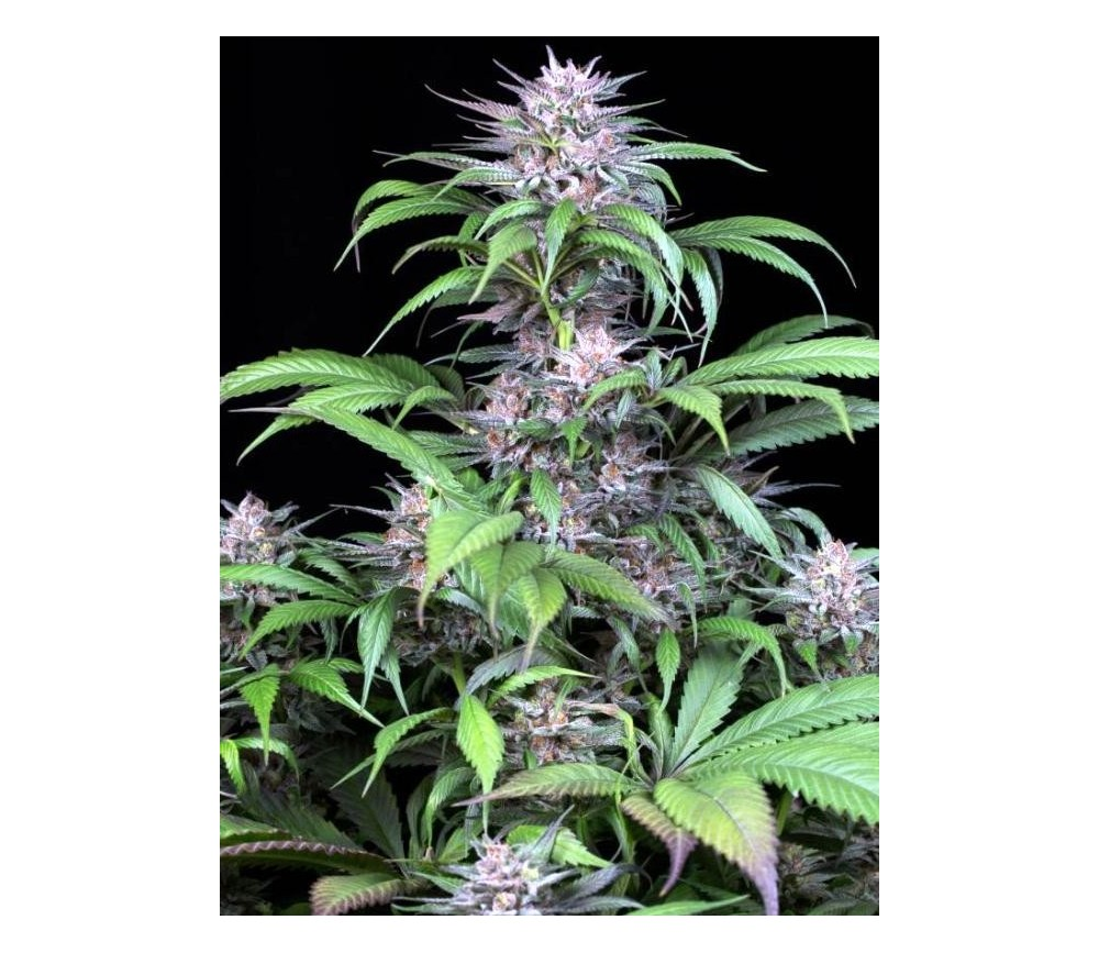 Quick Kush - Dinafem Seeds