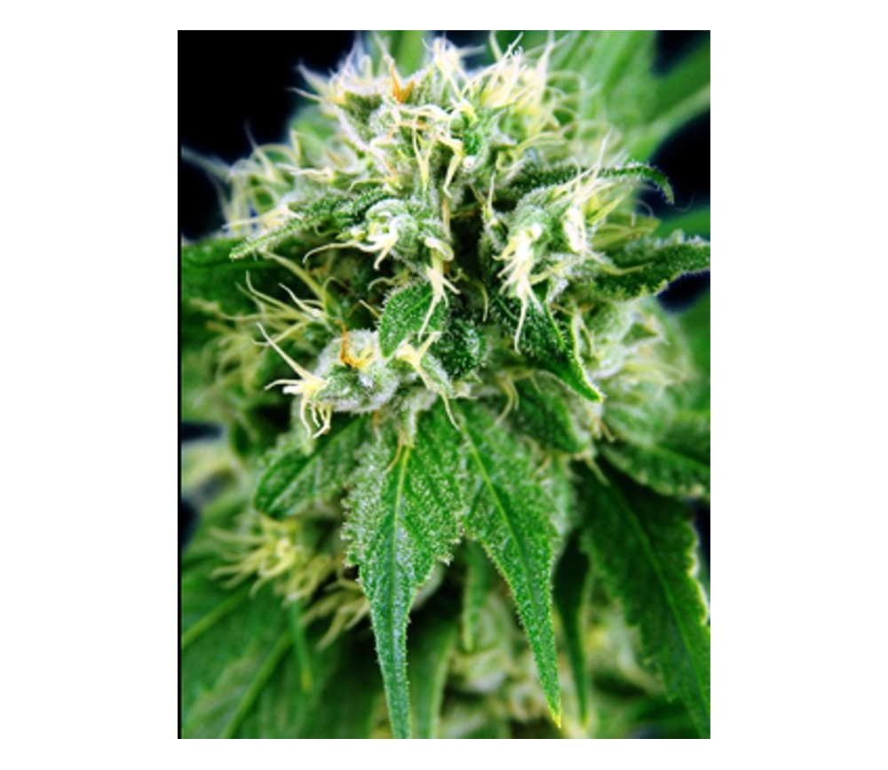 Jack Herer - House of the Great Gardeners
