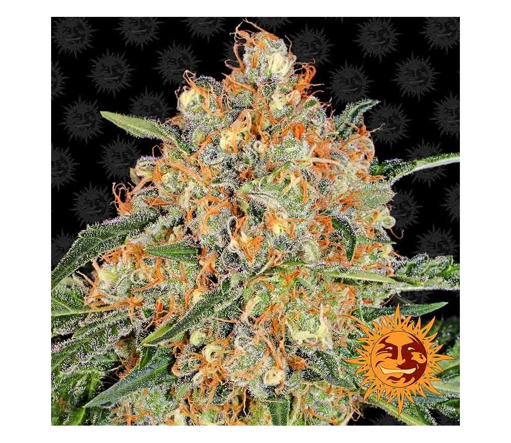 Orange Sherbert - Barney's Farm