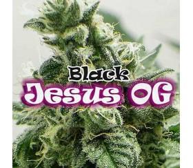 Black Jesus OG - Dr. Underground Seeds