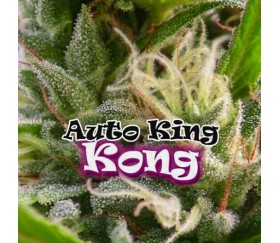 Auto King Kong - Dr Underground Seeds