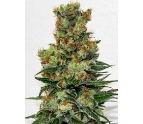 Ripper Badazz Regular - Ripper Seeds