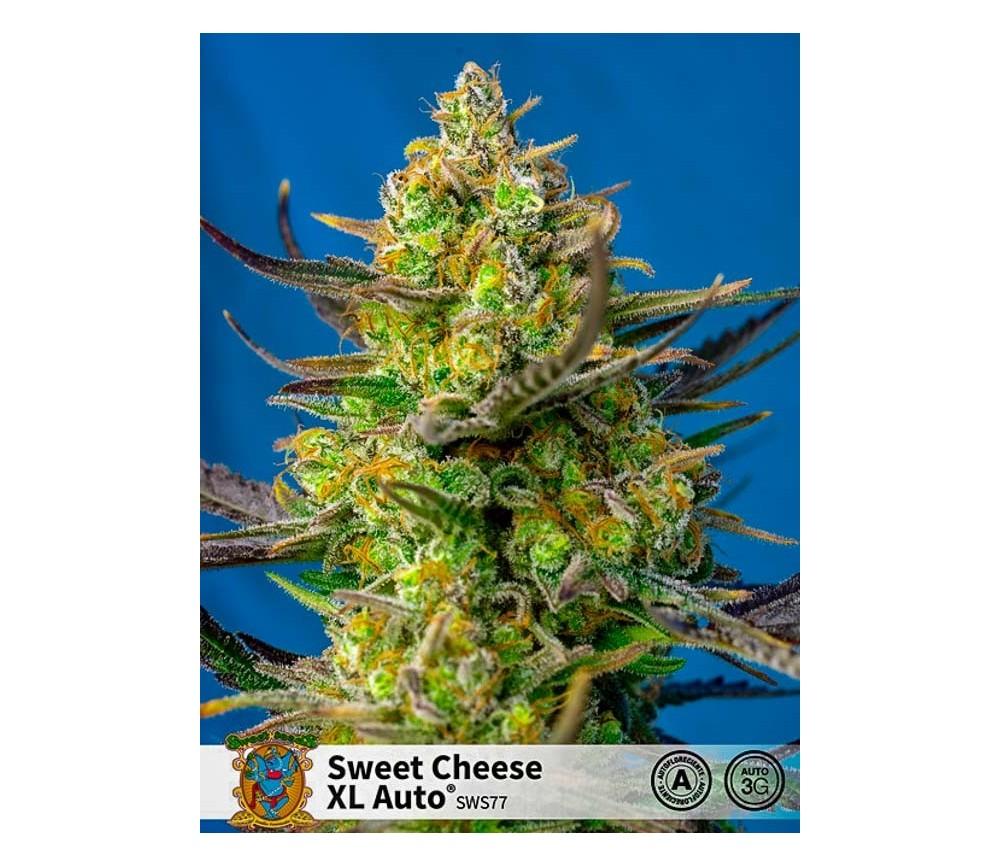 Sweet Cheese XL Auto - Sweet Seeds
