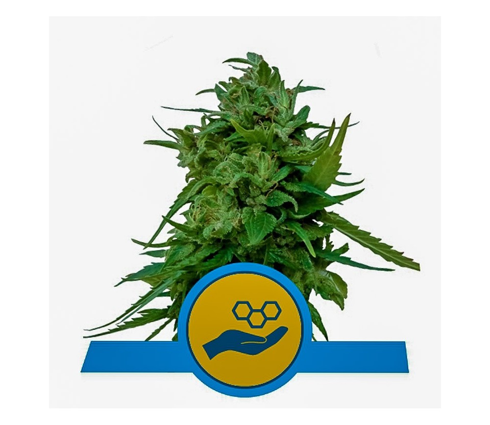 Solomatic CBD - Royal Queen Seeds