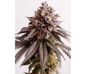 Gelato-K - Kannabia Seeds