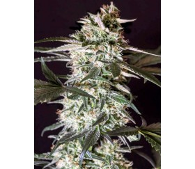 Medizinal CBD -Genehtik Seeds