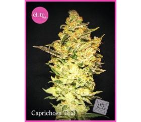 Caprichosa Thai - Élite Seeds