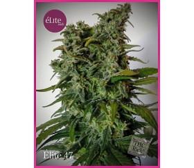 Élite 47 - Élite Seeds