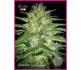 "Juanita ""La Lagrimosa"" - Élite Seeds"