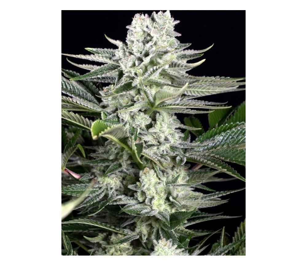 Gorilla CBD Auto - Dinafem Seeds