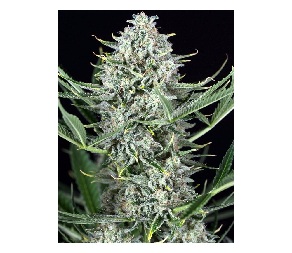 Cookies Autoflowering - Dinafem Seeds