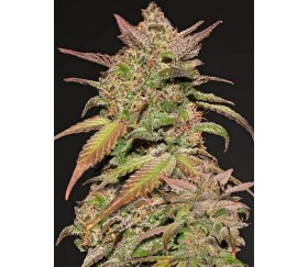 Smoothie Auto - Fast Buds Seeds