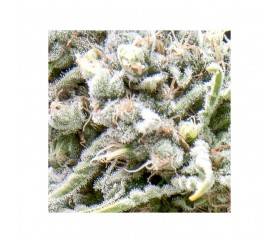 Auto White Widow CBD - Pyramid Seeds