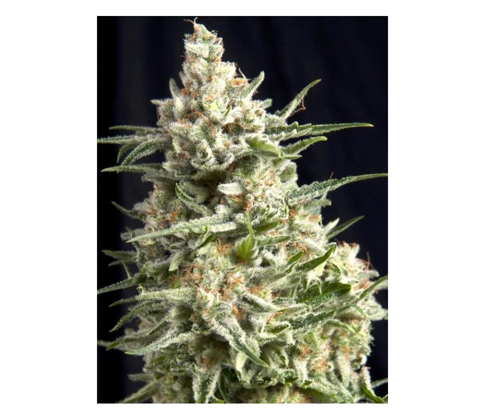 Anesthesia CBD - Pyramid Seeds