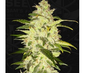 Chocolate Chunk - T.H. Seeds