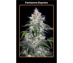 Fantasmo Express - Mephisto Genetics