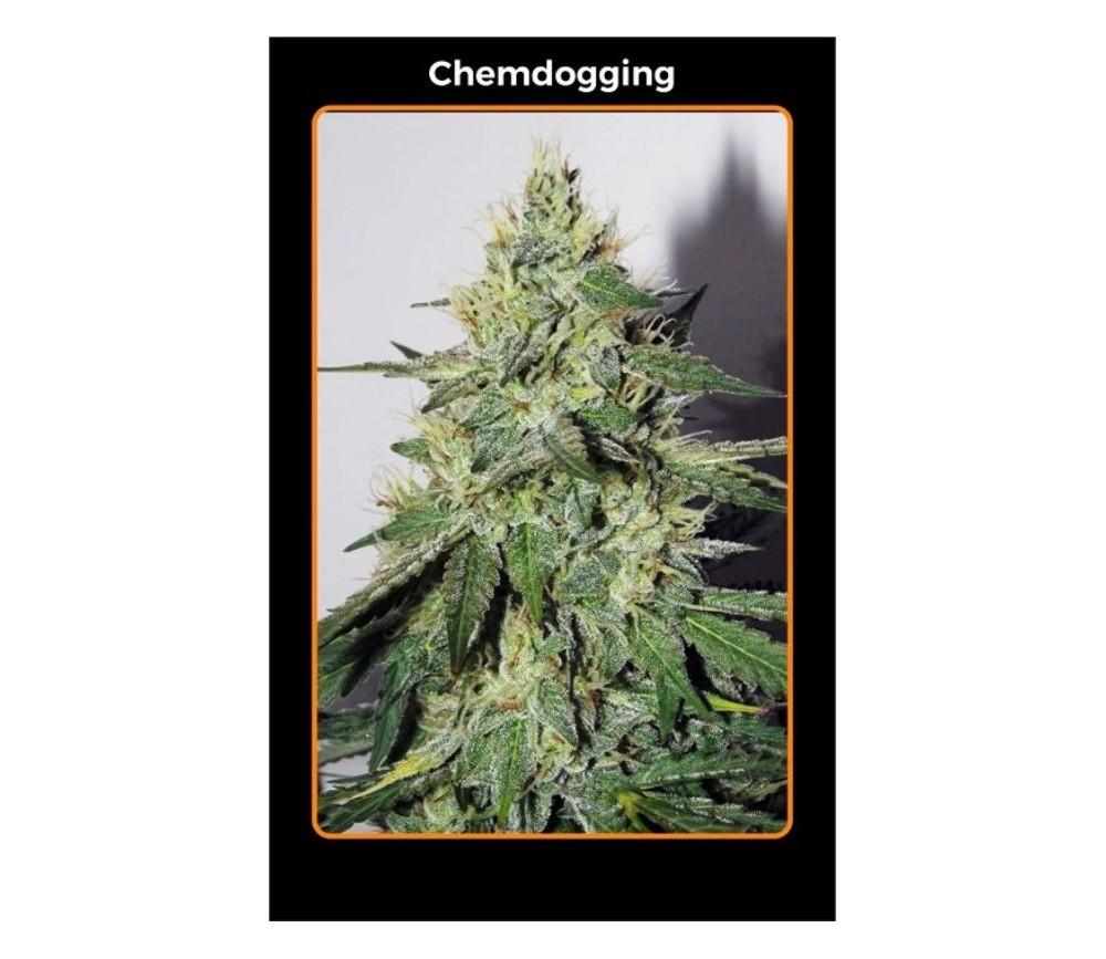 Chemdogging - Mephisto Genetics