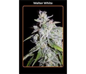 Walter Wihite - Mephisto Genetics
