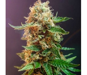 Autoflower Haze - The Bulldog Seeds