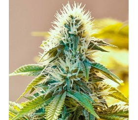 White Widow Regulares - The Bulldog Seeds