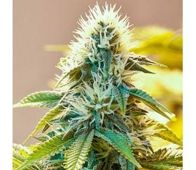 White Widow Regulares - The Bulldog Seeds
