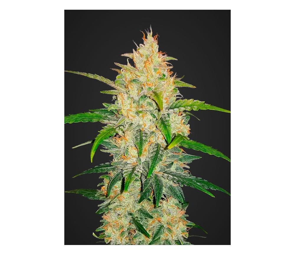 Zkittlez Auto - Fast Buds Seeds