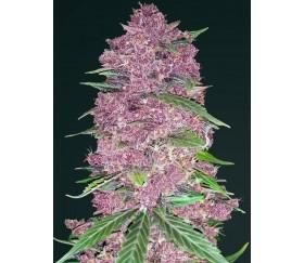 Purple Lemonade de Fast Buds Seeds