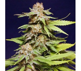 Big Bull - Kannabia Seeds