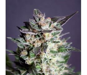 Diesel Glue - Kannabia Seeds