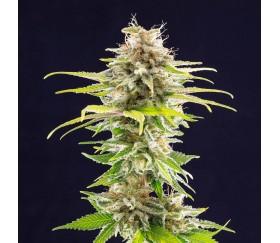 Super OG Kush - Kannabia Seeds