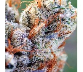Tropicanna Haze de Oni Seed
