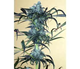 Green Crack CBD - Humboldt Seeds Organization