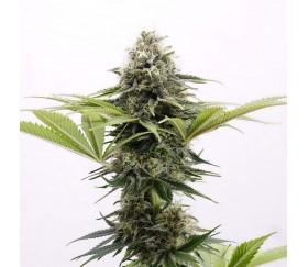 Mama Cultiva - Kannabia Seeds