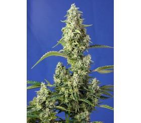 Gorila Girl XL Auto - Sweet Seeds
