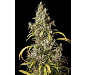 Monster de Eva Seeds