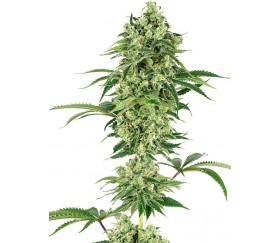 Nicole Hindu Kush - White Label Seeds